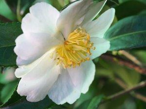 Camellia japonica 'Shin-Akebono'