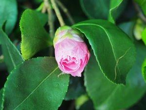 Camellia sasanqua 'Waterfall Pink'