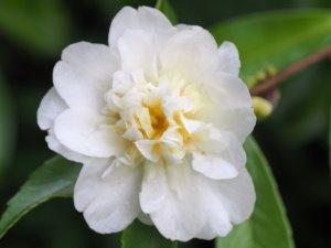 Camellia x oleifera 'Winters Snowman'