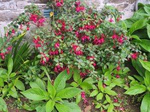 Fuchsia and Echium seedlings