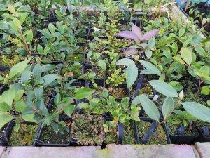 different camellia species