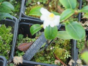 Camellia yushiensis