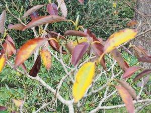 Magnolia 'Porcelain Dove'