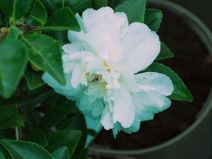 Camellia sasanqua 'Alba Plena'