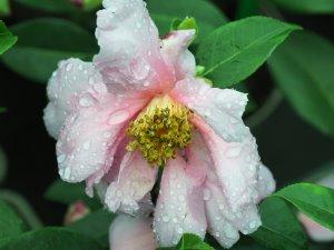 Camellia sasanqua 'Show Girl'