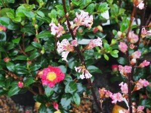 Viburnum bodnantense 'Dawn' and Camellia x vernalis 'Yuletide'