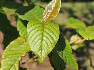 Camptotheca acuminata