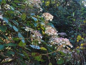 Hydrangea aspera subsp. robusta