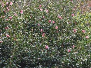 unnamed Camellia x williamsii