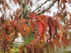 Prunus 'Hally Jolivette'