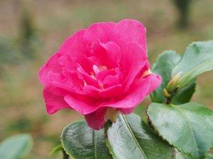 Camellia sasanqua 'Sekiyo'