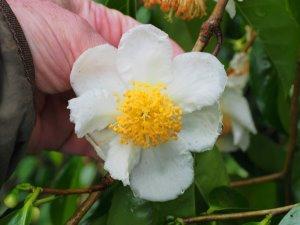 Camellia oleiferas