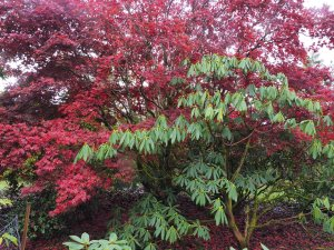 Rhododendron calophylum and Acer palmatum 'Atropurpureum'