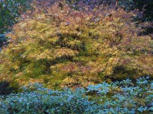 Acer palmatum 'Scolopendriifolium'