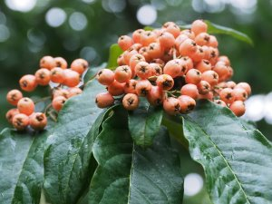 Cotoneaster 'Inchmery'