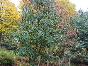 Magnolia decidua