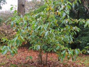 Magnolia x weisneri