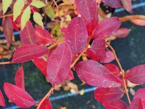 Zenobia pulverulenta 'Raspberry Ripple'
