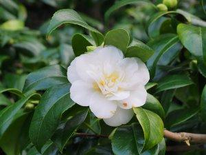 Camellia 'Noblissima'