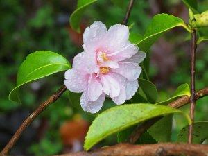 Camellia sasanqua 'Winter's Dream'
