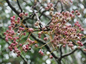 Sorbus 'Pearly King'