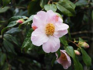 Camellia x williamsii 'J. C. Williams'