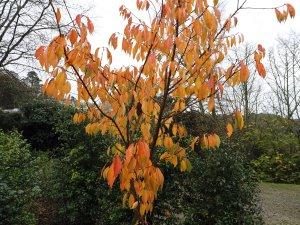 Prunus 'Fragrant Cloud'