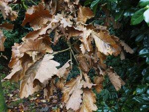 Quercus dentata 'Karl Ferris Miller'