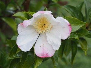 Camellia sasanqua 'Gay Border'