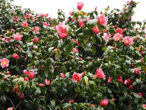 Camellia japonica variety