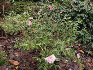 Camellia sasanqua 'Sugar Dream'