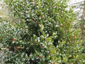 Ilex x altaclarensis 'Camelliifolia'