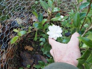 Camellia sasanqua 'Blush'