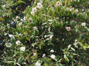 Camellia 'Winter's Snowman' alongside Camellia 'Winter's Charm'
