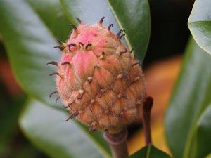 Magnolia grandiflora variety