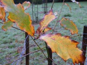Quercus 'Belle d'Aquitaine'