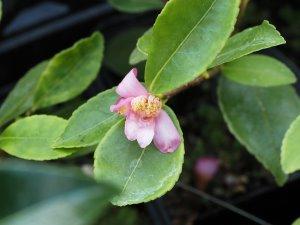 Camellia brevistyla var. rubra
