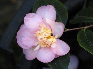 Camellia sasanqua 'Winter's Interlude'