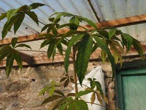 Oreopanax sectifolius