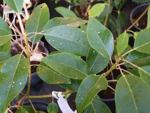Rhodoleia aff. henryi