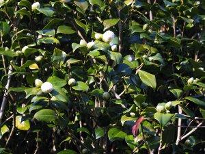 Camellia x williamsii 'Jury's Yellow'