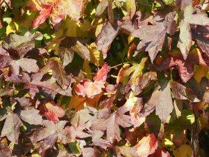 Liquidambar styracifolia 'Oconee'