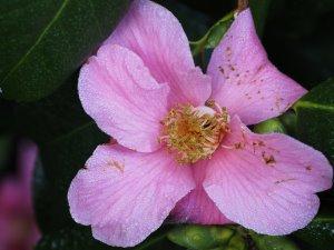 Camellia 'Admiral Spry'