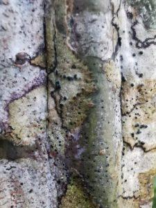 Pseudopanax ferox