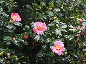 Camellia x williamsii 'Carolyn Williams'