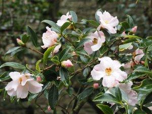 pale form of Camellia saluenensis