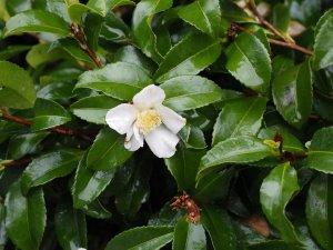 white Camellia sasanquas
