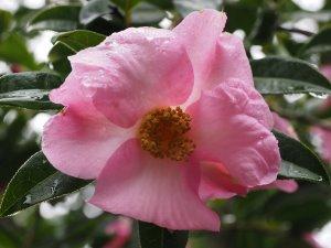 darker form of Camellia saluenensis