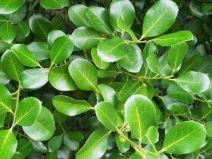 Ilex perado subsp. perado
