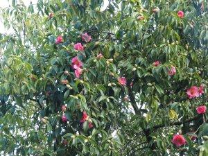 Camellia reticulata